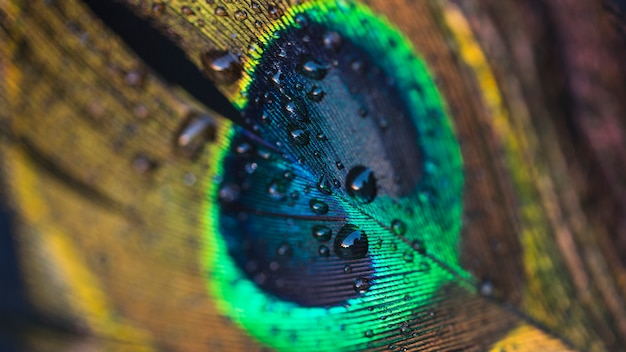 Water drop floating on a beautiful peacock feather