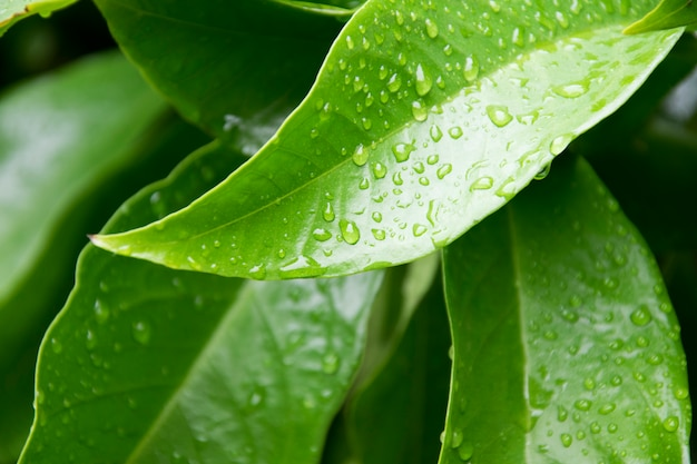 Water drop on green leaves texture background.