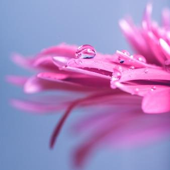 Капля воды на розовом цветке на синем фоне