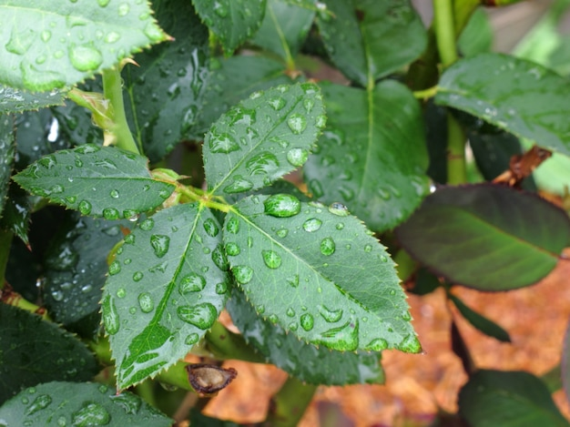 Water droplet on green leaf after rain