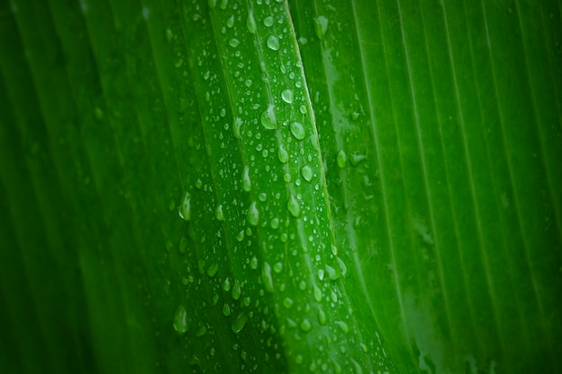 Water droplets on a banana leaf with selective focus
