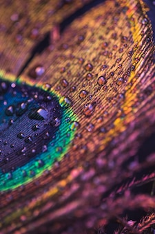 Water droplets on the surface of colorful peacock feather
