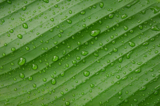 Water drops on banana leaf backgroung