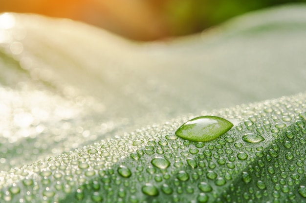 Water drops on banana leaf with sun light