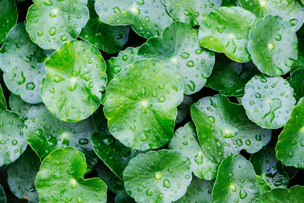 Water drops on the centella asiatica.