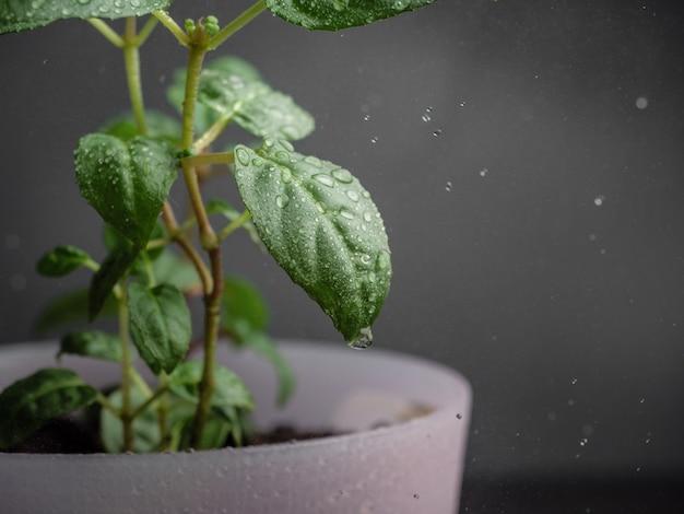 실내 식물의 잎에 물방울이 떨어집니다.