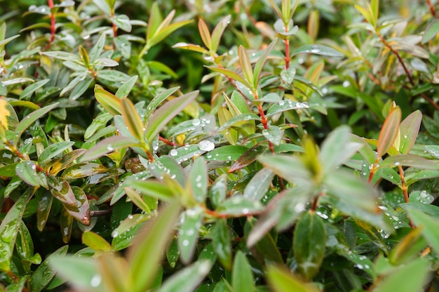 Water drops on the leaves of a shrub after dew or rain.
