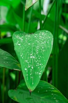 Вода падает на зеленый лист гигантеи в саду.