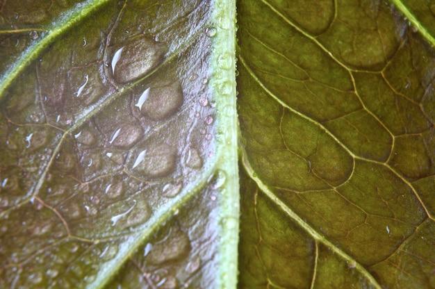 녹색 잎에 물방울이 떨어집니다. 확대.