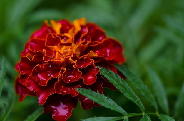 Капли воды на цветы календулы в саду