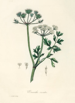 Water dropwort (onanthe grocata) illustration from medical botany (1836)