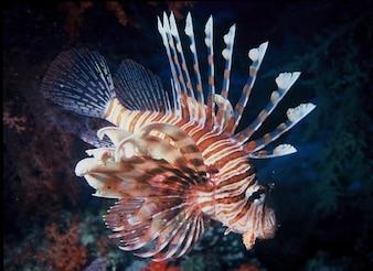 Water fish sea lion lionfish colorful ocean