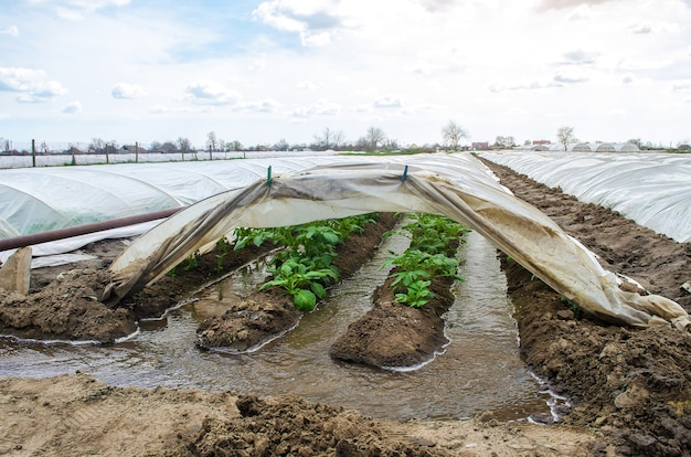 Water flows through canals into a greenhouse tunnel with a plantation of potato bushes
