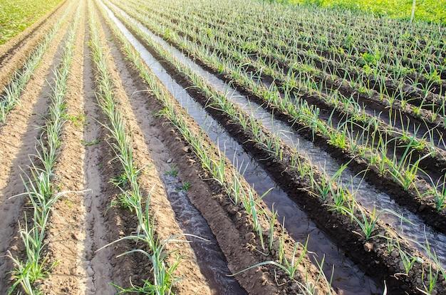 ネギのタマネギ農園の灌漑用水路を水が流れる