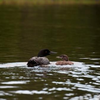 Водоплавающая птица на озере на озере вудс, онтарио