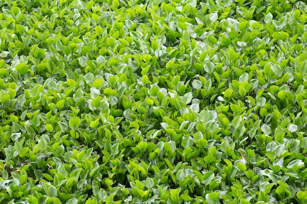 Water hyacinth field