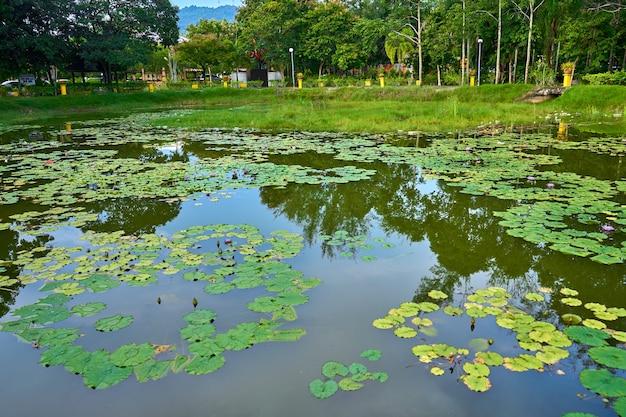 Озеро кувшинки в зеленом парке отдыха.