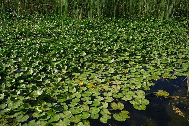 Water lilies on lake
