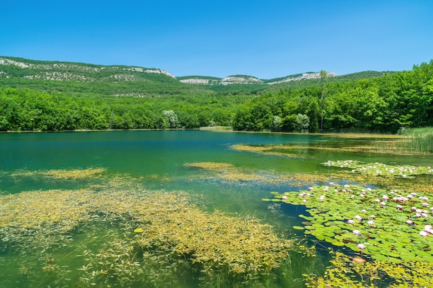 수련 nymphaea sp. 담수 연못의 표면을 덮으십시오. 수련은 토양에 뿌리를 내리고 잎과 꽃이 수면에 떠 있습니다. 자연 배경 그림.