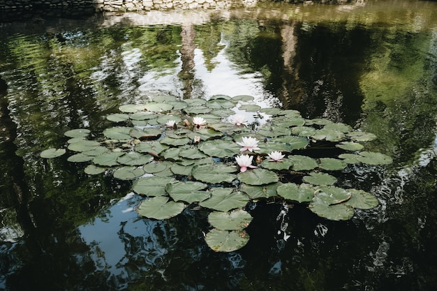 Водяные лилии на озере во дворе замка дракулы, трансильвания