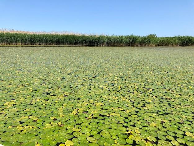 Водяные лилии на озере. живописный вид на природу тихой красоты.