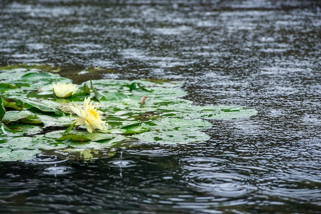 Water lilies under the rain