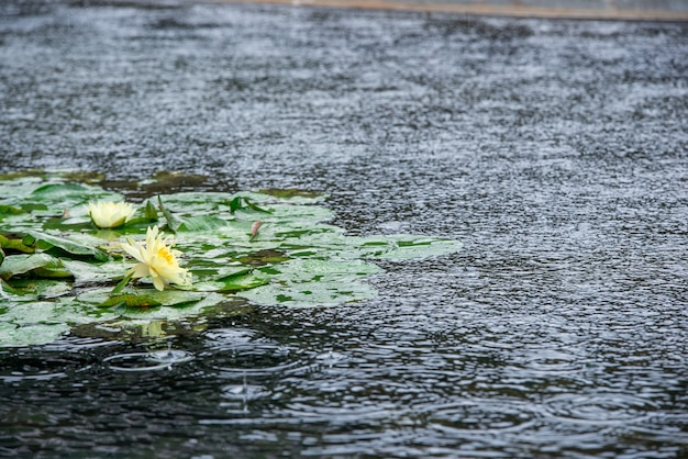 Water lilies on a rainy day