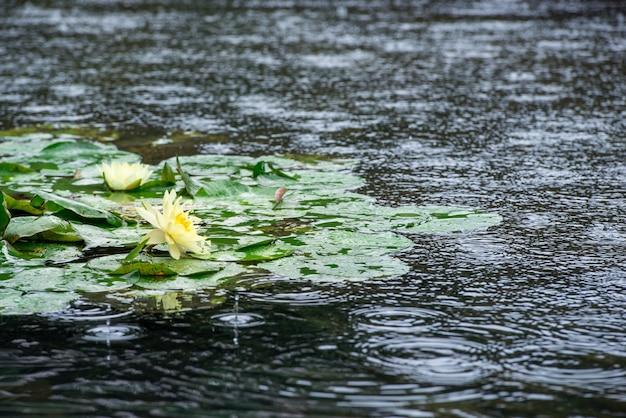 雨の下の睡蓮