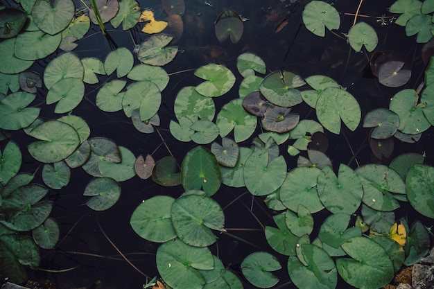 Water lilies on water