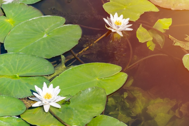 Water lily flower in city pond. beautiful white lotus with yellow pollen