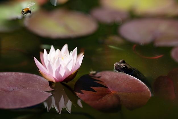 꿀벌 야생의 자연을 잡으려는 수련 꽃 개구리