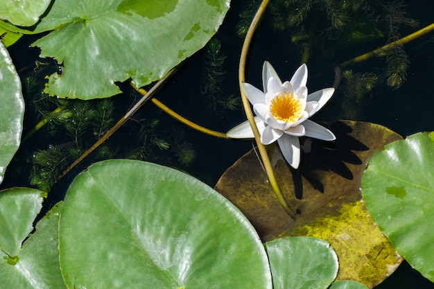 川のスイレンの花