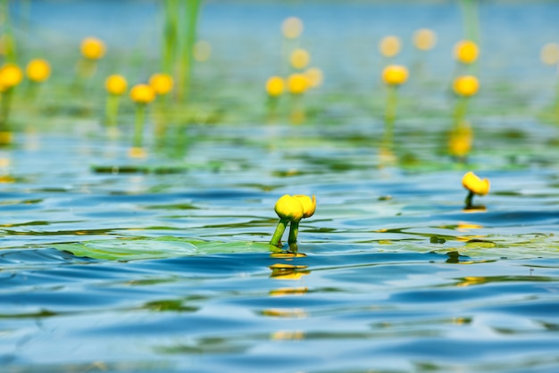 Water lily flower on pond with lotus leaves on pond