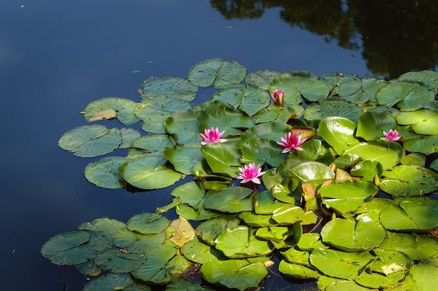 日没時の夕方の庭の池の睡蓮。花のコンセプト。 Premium写真