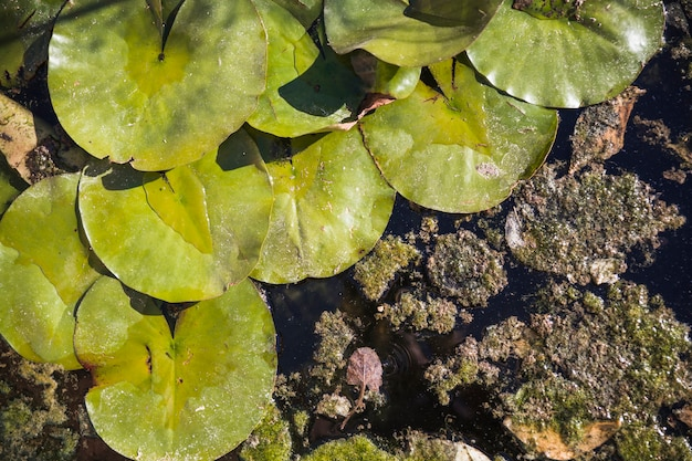 Water lily leaves on dirty water