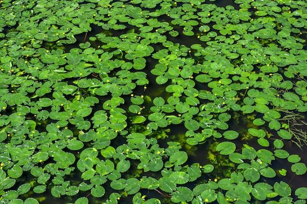 수련. 백합 배경, 질감입니다. 수련이 무성한 연못. 상위 뷰 녹색 잎 연꽃 또는 물이 있는 연못의 어두운 표면에 있는 nymphaeaceae 가족의 강건한 수련 식물