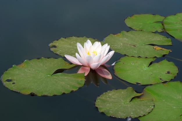池のスイレン(nymphaea alba)