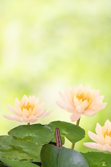 Water lily or nymphaea nouchali flower on boken nature background with clipping path.
