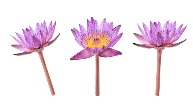 Water lily or nymphaea nouchali flower isolated on white background with clipping path.