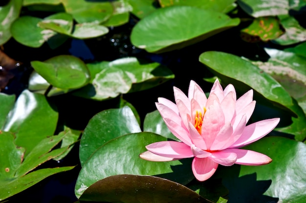 水に緑の葉を持つ睡蓮