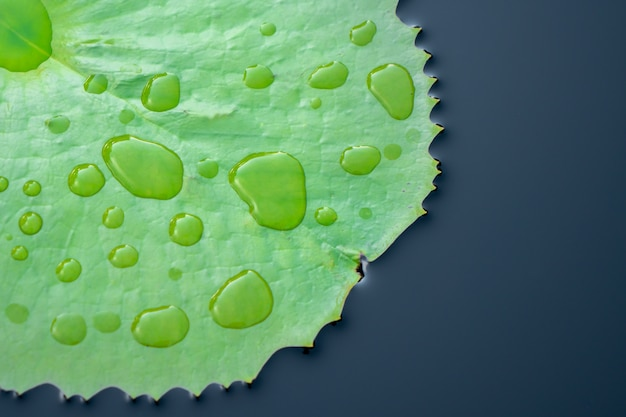 Water on lotus leaf at the garden