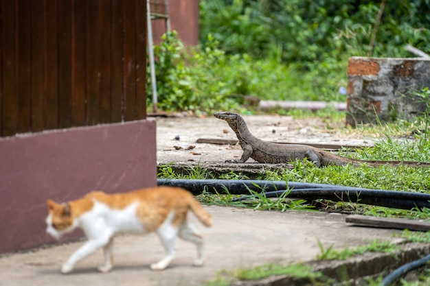 Water monitor lizard and domestic cat in yard of island borneo, malaysia