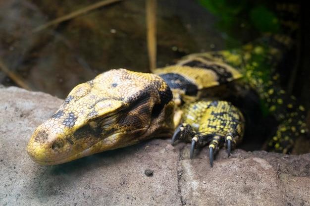 ロンドン動物園の水モニターリザード(varanus salvator)、野生のエキゾチックな動物