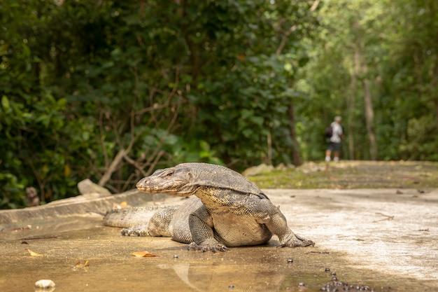 Water monitor lizard, varanus salvator, лежащий на дороге, человек, идущий на заднем плане