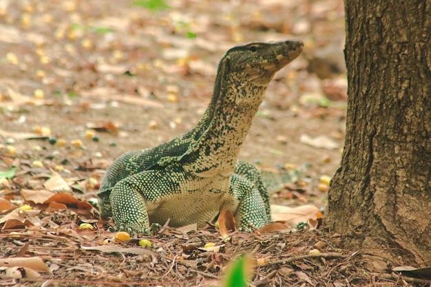 水モニター; varanus salvator) は大型の爬虫類です。水の近くに住む