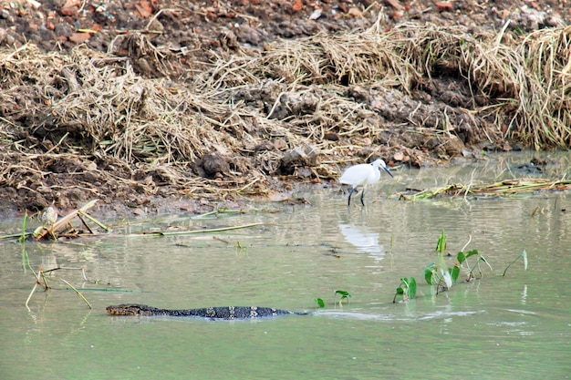 Water monitor (varanus salvator) is swimming in river and white heron (bittern)