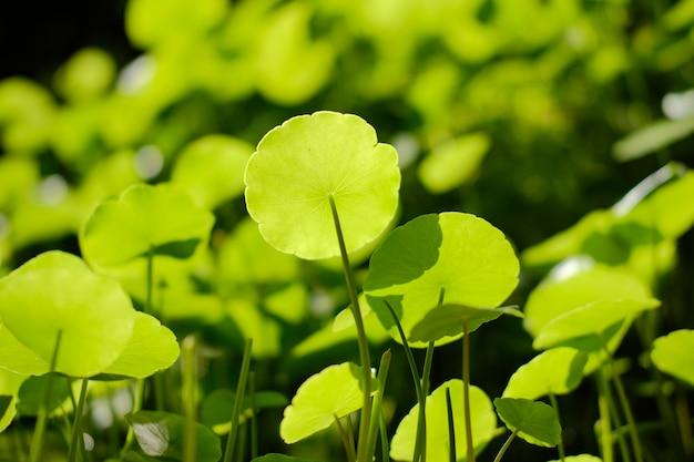 水ペニーワート植物の葉は水中で成長します