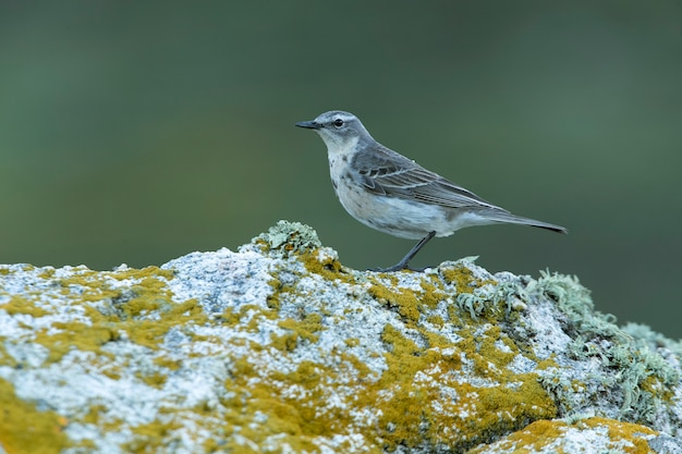 Water pipit on a rock in its breeding territory with the first light of day