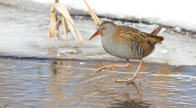 Water rail walks on ice in search of food