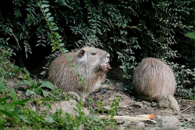 연못 껍질에서 음식을 찾는 물쥐